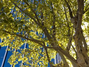 Street trees and urban tree planting