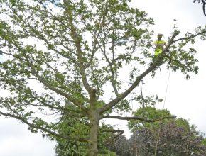 Tree surgery in Surrey