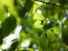 Beech tree close up