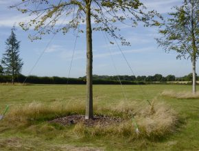 Semi-mature tree planting Civic Trees 2
