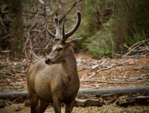Woodland habitat and wildlife deer